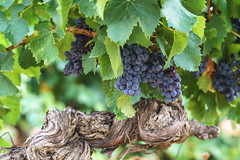 Carignan - Photo of Cébazan