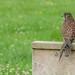 Falconry Day - Kestrel by ken_davis
