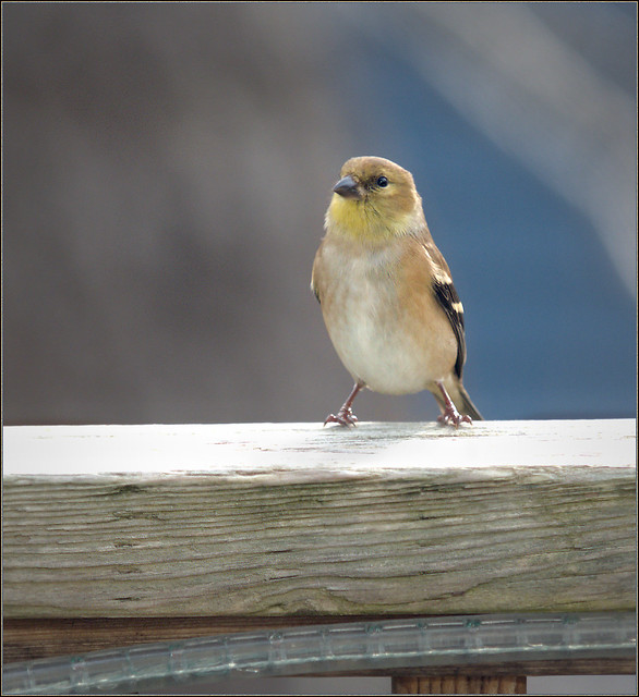 Goldfinch scouting about