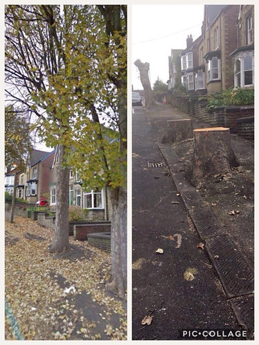 withens-avenue-hillsborough, tree cutting, sheffield