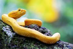 Bothriechis schlegelii, Costa Rica