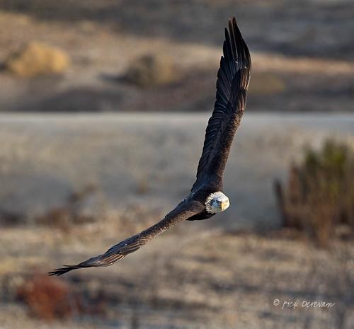 atascadero california bird eagle baldeagle raptor haliaeetusleucocephalus