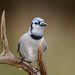 Blue Jay on Antler-43074.jpg