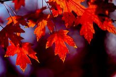 canada-fall-maple-leaf-57567_20141019_GK.jpg