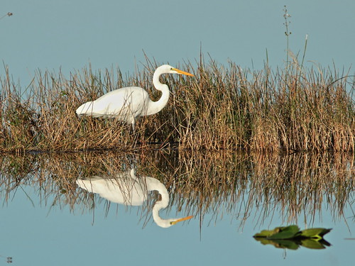 Great Egret reflection 03-20171119