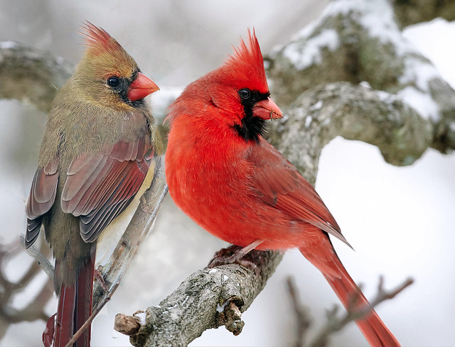 Flickr clarence stewart - Pictures of cardinals in snow ...