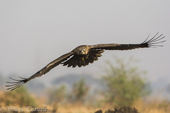 Juvenile Tawny Eagle.