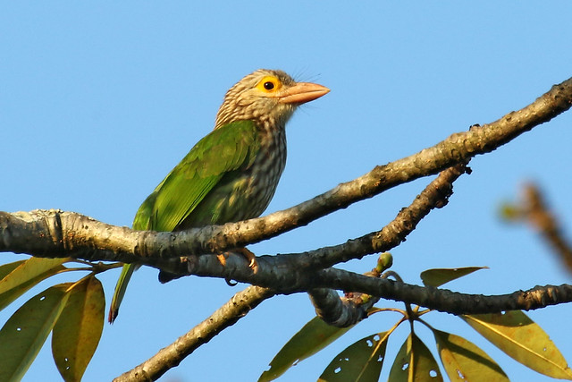 Lineated Barbet Bird Photo Call And Song Psilopogon Lineatus Capito Lineatus