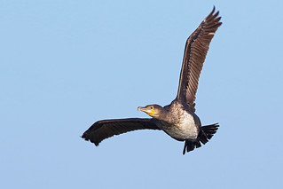 Great Cormorant, Fife Ness, Scotland