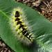 Pale Tussock moth caterpillar Underside
