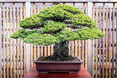 Japanese White Pine - In training since 1625