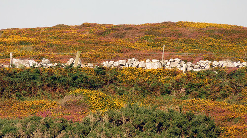 Yellow Gorse blooms and purple heather make a tapestry of subtle colours at the Ballyconneely Bog in Ireland