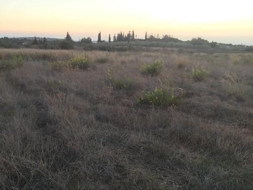 Elecampane Meadow