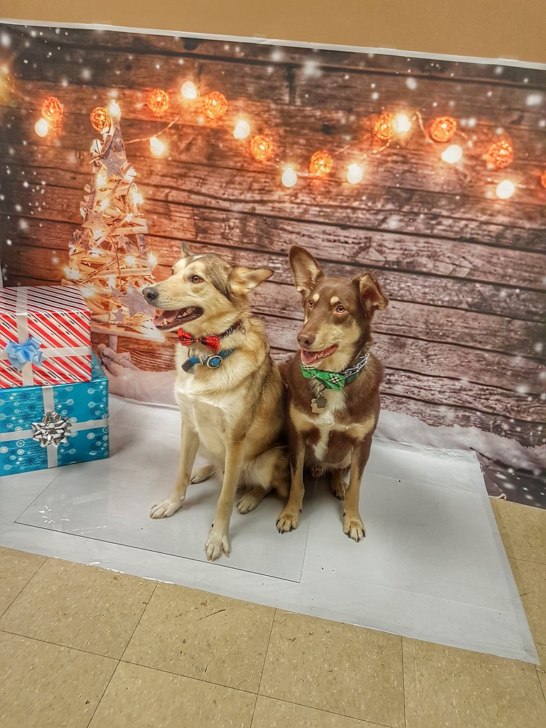Husky Santa Paws Loki and Thor