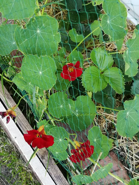 nasturtium planting in Ballarat backyard, zone 2 by Skud