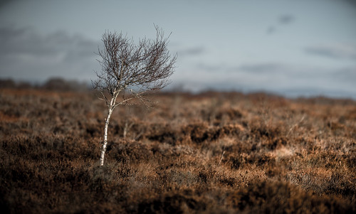 Tree in the Bog, down in the Valley o ..