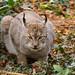 Eurasian Lynx ♀, 'Munchkin' - IB260760