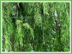 Salix babylonica (Weeping Willow, Peking Willow, Chinese Weeping Willow,Babylon Weeping Willow, Babylon Willow) seen growing in our neighbourhood, 3 Dec 2017