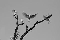Garda-buòu - Héron garde-boeuf - Bubulcus ibis