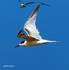 Gull-billed Tern by upperwinskill
