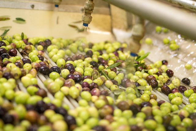 Cleansing the olives.
