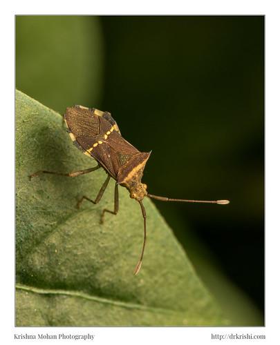 akruthi arthropoda asia cletomorpha coreidae coreinae coreoidea dakshinakannada gonocerini hemiptera heteroptera hornedcoreidbug india insecta karnataka moodabidri pentatomomorpha in