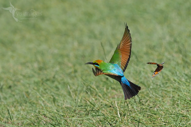 Rainbow Bee-eater & Monarch Butterfly