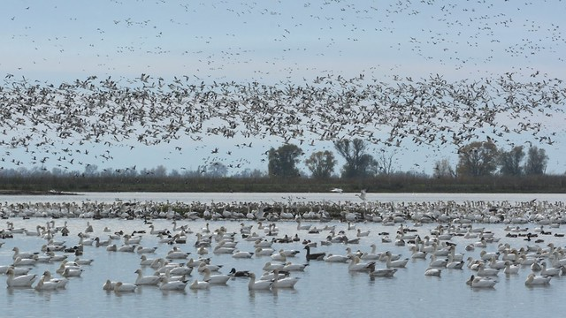 Ducks and White Geese taking wing at the Sacramento National Wildlife Refuge (2)