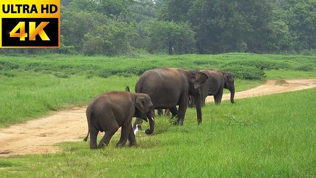 best 4k/30fps elephant shots-elephant herd nature-elephant herd sounds