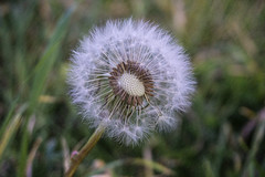 Dandelion - still growing in November!