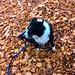 Autumn leaves. Oxfordshire UK