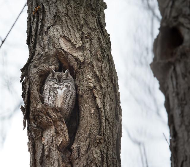 Chroniques d'Angrignon   Odi au trou no 9   Petit-duc maculé femelle de forme grise   Parc Angrignon   Arrondissement Sud-Ouest   Montréal