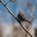 Sparrow_102264