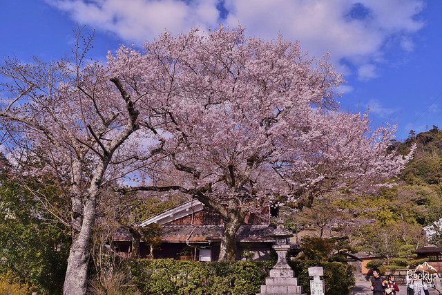 Japan Bucket List - seeing Japanese cherry blossom in the Spring