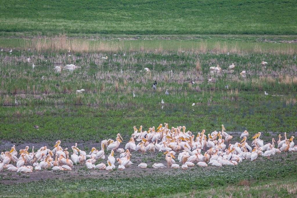 sumar 2017_24_primavara_pelicani si alte pasari