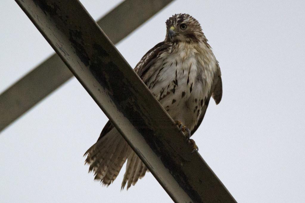 immature hawk, bird id purpose only