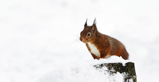 Red Squirel in the snow