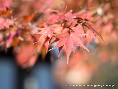 Autumn Leaves 20171106 #05