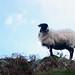 Sheep, Lake District, England