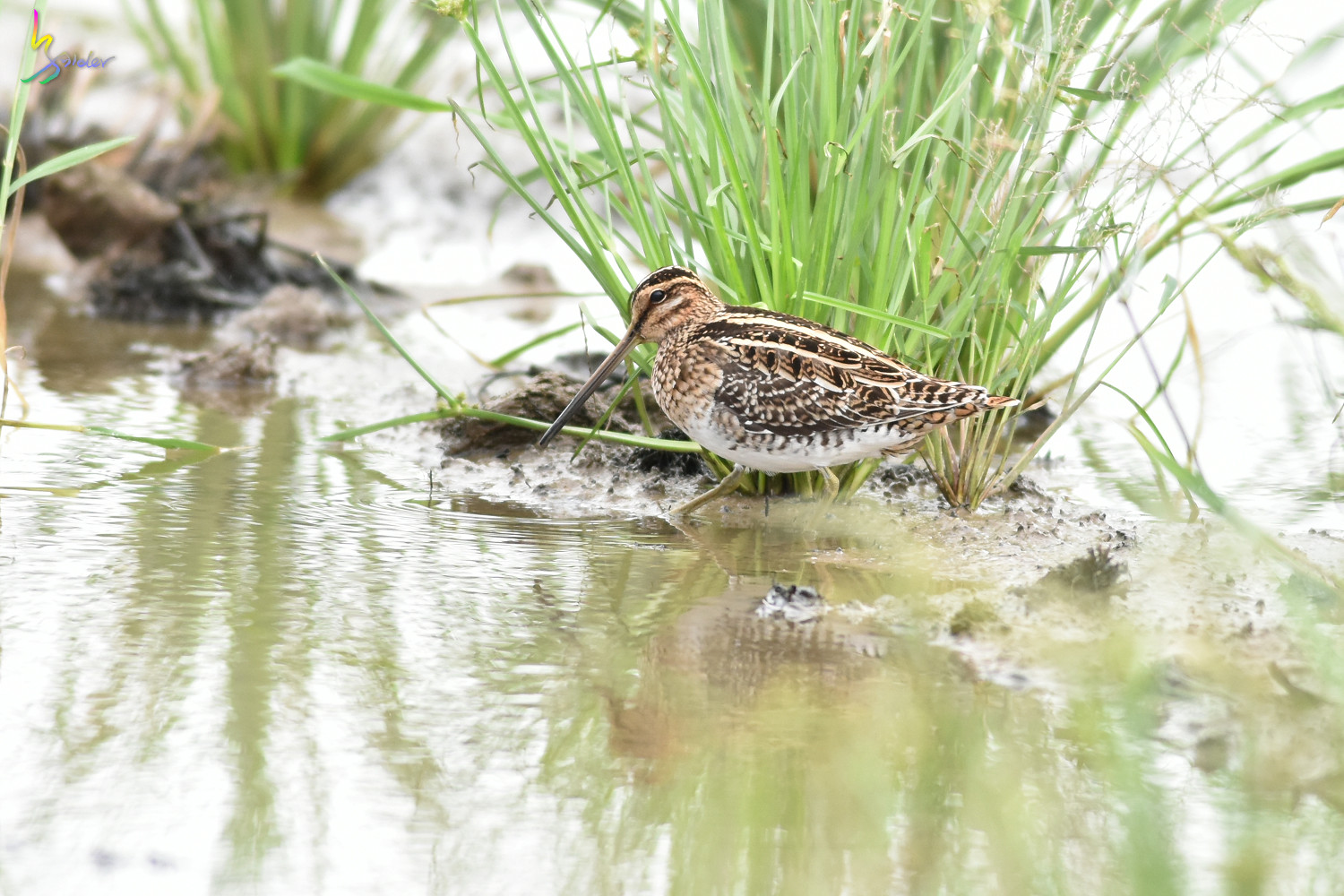 Common_Snipe_5103
