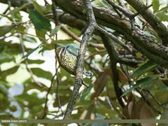 Speckled Piculet (Picumnus innominatus)