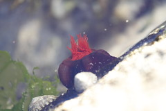 Anemone in a rock pool