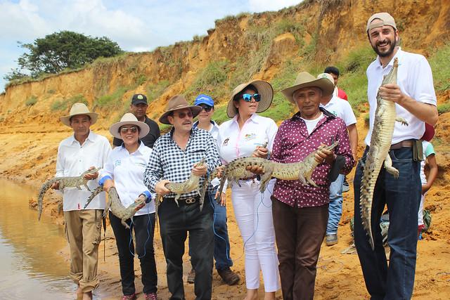 Caimanes llaneros (Cocodrylus intermedius) son liberados en el departamento de Arauca y serán custodiados por ´los hombres caimanes´