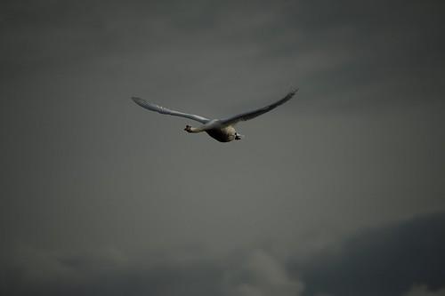Cygne tuberculé Cygnus olor - Mute Swan   CED_8404