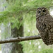 Northern Spotted Owl (Strix occidentalis caurina) stares back at me in an old growth forest. by bcbirdergirl