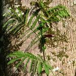 Falcataria moluccana leaf and bark