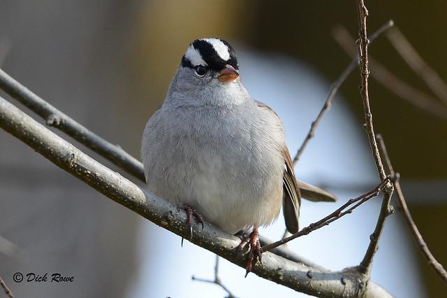 White-crowned Sparrow 2 Dec 17 4, Nikon D800, AF-S VR Nikkor 400mm f/2.8G ED