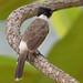 Sooty-headed Bulbul (Pycnonotus aurigaster) 白喉红臀鹎