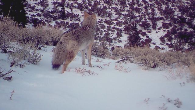 calm coyote
