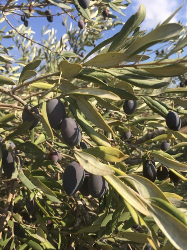 Black Syrian Olives